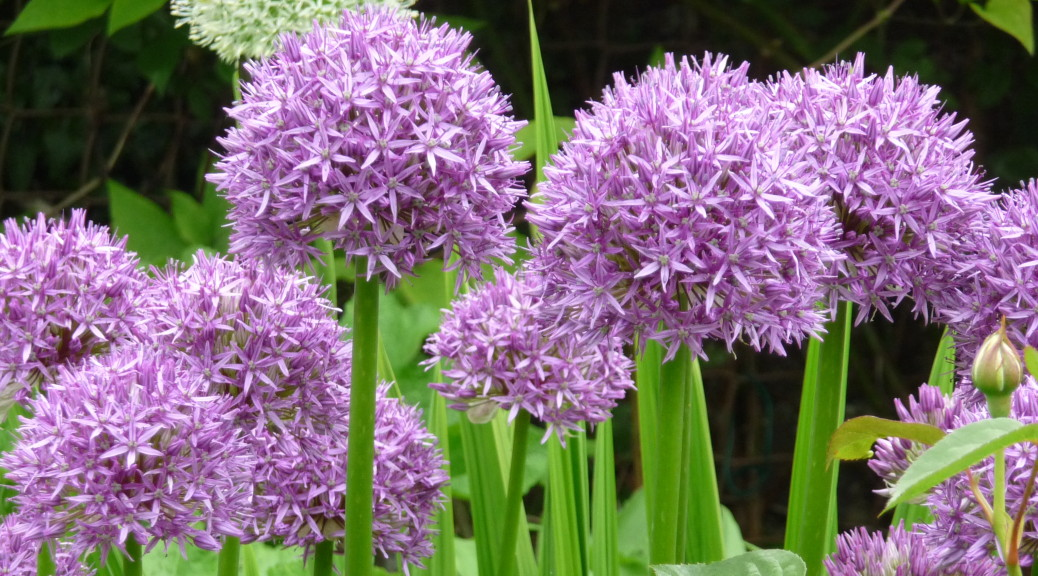 Alliums - Cropped